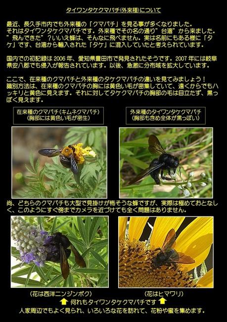 タイワンタケクマバチについて.jpg